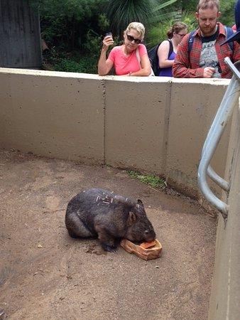 Mosman, Australia: Wombat