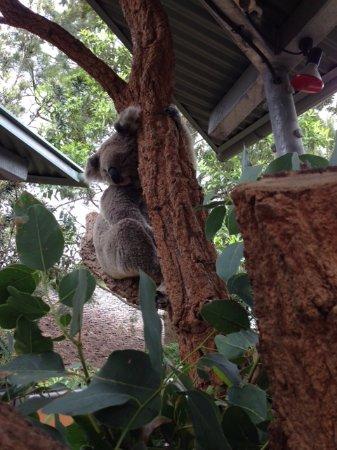 Mosman, Australia: Koala