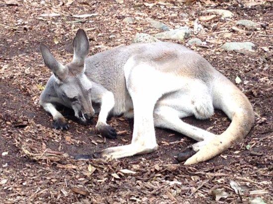 Mosman, Australia: Kangaroo