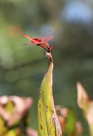 Maleny, Australië: A red dragonfly at the lake.