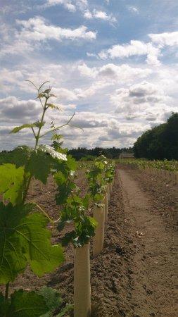 Mont-pres-Chambord, فرنسا: Vignoble jouxtant la cave coopérative