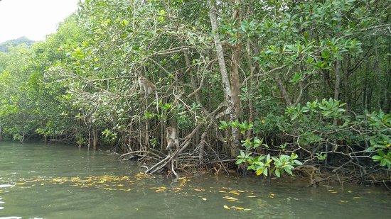 Kilim Karst Geoforest Park: Mangrooves