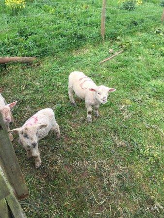 Paignton, UK: Lambs