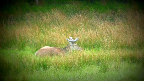 Isle of Jura, UK: One of the 5000 deer on the island - spotted on our tour.