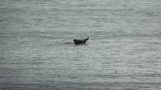 Isle of Jura, UK: More wildlife - one of the many seals resident in the waters round Jura.