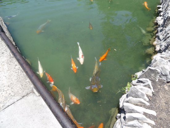 Koi fish in the pond picture of japanese tea gardens for Japanese garden san jose koi fish