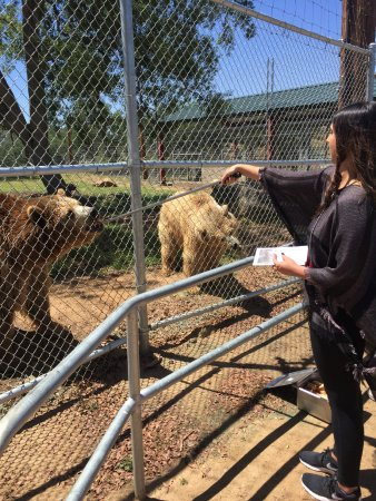 Lions, Tigers & Bears: Feeding at Grizzly Bear