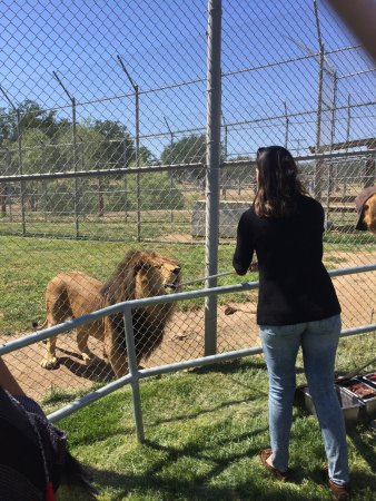 Lions, Tigers & Bears: Feeding a Lion