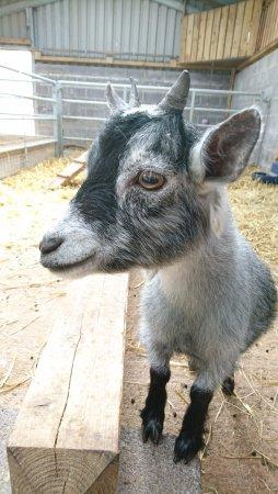 Pili Palas Nature World : Goat