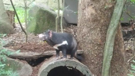 Currumbin, Australia: Tasmanian Devil