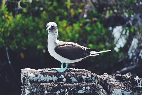 Islas Galápagos, Ecuador: the particular blue foot piquero bird