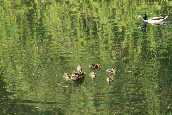 Bramhall, UK: Duck with ducklings in lake