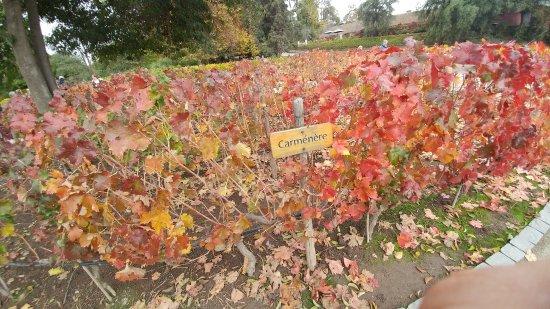 Pirque, Chile: Uva carmenere (só é produzida no chile)