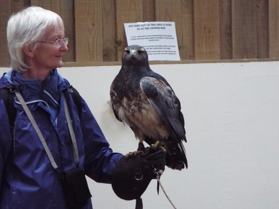 Newent, UK: Handling a grey Brazilian buzzard eagle