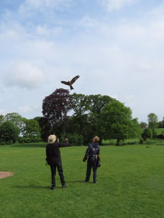 Newent, UK: Calling a yellow-billed kite to the glove