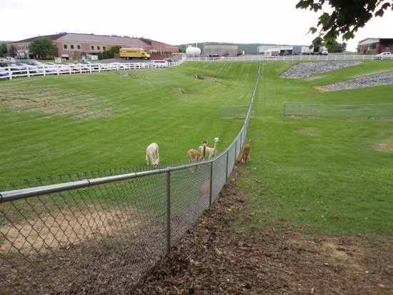 Blue Ball, PA: Alpaca in the Parking Lot
