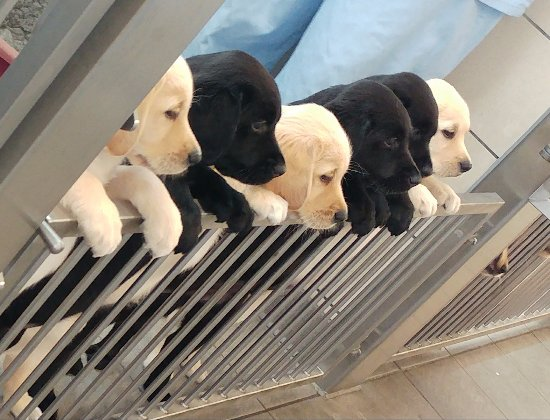 guide dog breeding