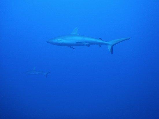 Pacific blue adventure : passe avapeihi requins gris