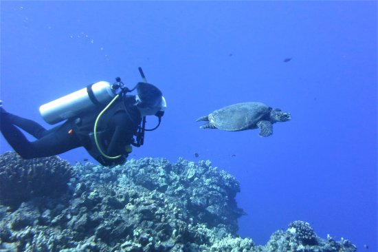 Pacific Rim Divers: Diving with green turtle