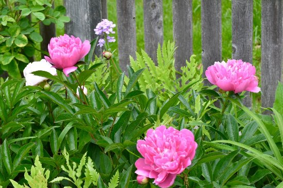 Titusville, NJ: Beautiful peonies