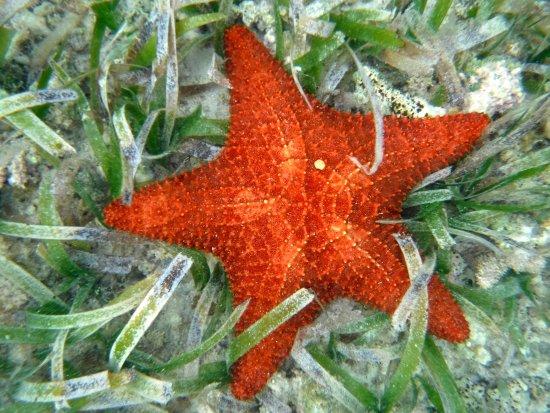 Tarpon Caye Belize: Starfish everywhere