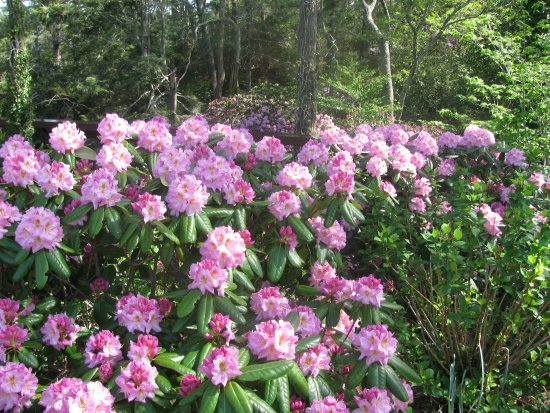 Heritage Museums & Gardens: Rhododendrons 1