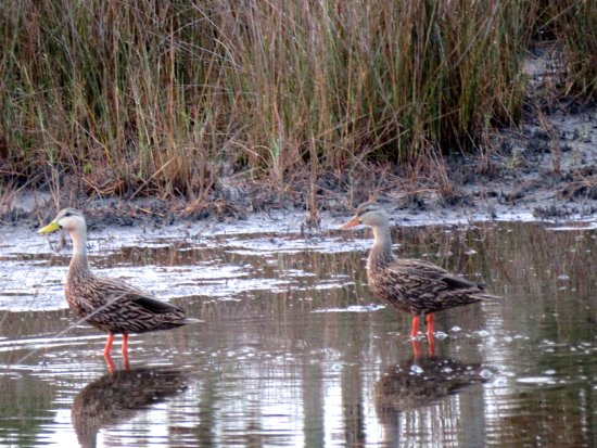 Harris Neck National Wildlife Refuge : Ducks