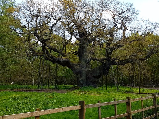 Nottinghamshire, UK: The Major Oak