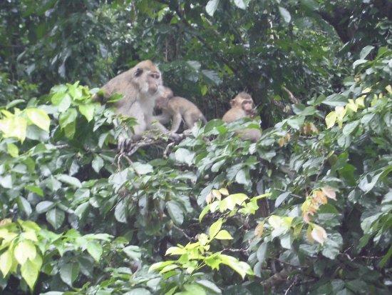 Mahebourg: les singes