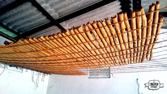 Ahangama, Sri Lanka: Drying true cinnamon