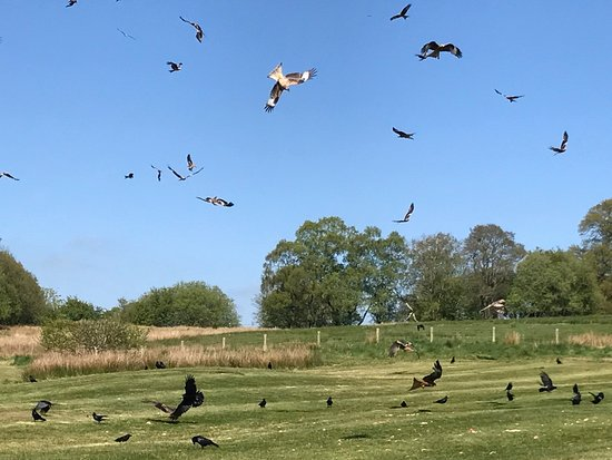 Rhayader, UK: Red Kites 3