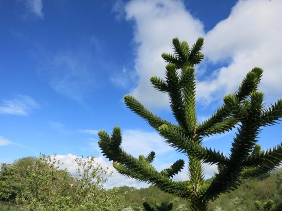 monkey puzzle tree on the grounds, close to the chickens