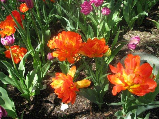 Boylston, MA: Tulips