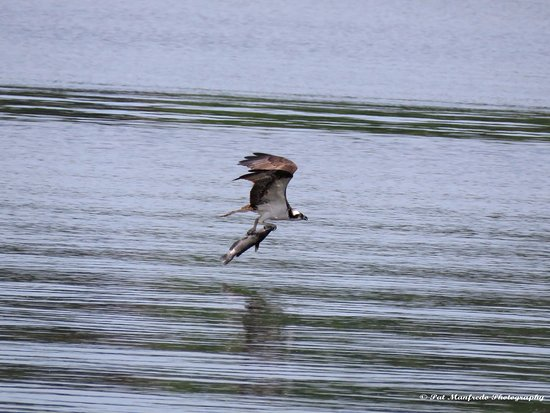 Osprey fishing on lake tarpon picture of a l anderson for Tarpon springs fishing