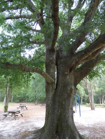 Aiken, Karolina Południowa: big tree