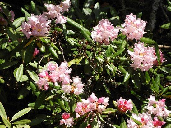Kaigakedani Rhododendron Plants