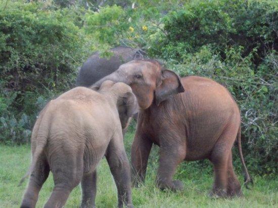 Panadura, Sri Lanka: Safari Minneriya
