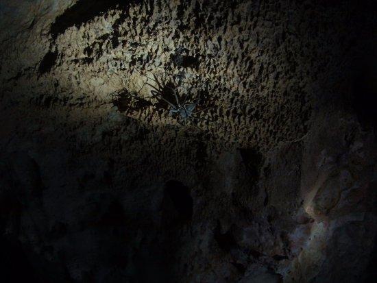 เบลโมแพน, เบลีซ: The apparently non-toxic scorpion spider!