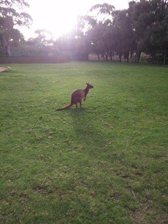 Victor Harbor, Australia: Kangaroo
