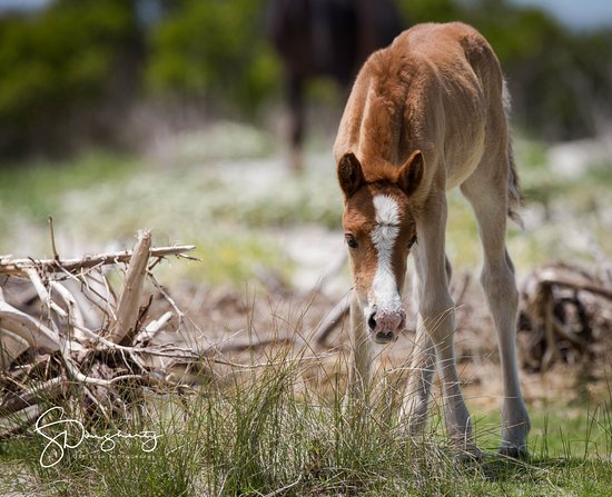 โบฟอร์ต, นอร์ทแคโรไลนา: A very young foal, a new member of the unique wild horses that live on the island..