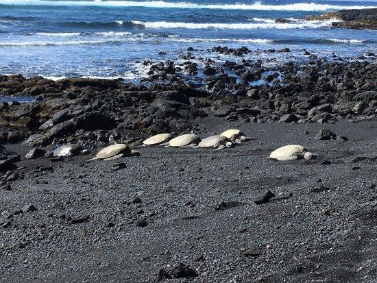 Punaluu Black Sand Beach: A heard of Honu