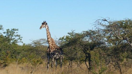 Gweru, Ζιμπάμπουε: Giraffe