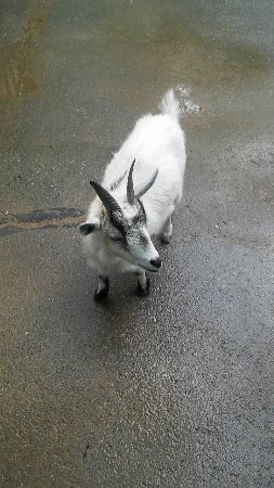 Blowing Rock, NC: Goat