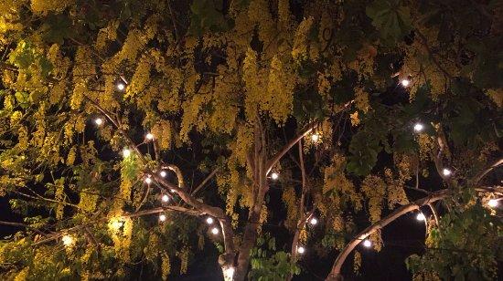 Puerto Caldera, Costa Rica: Árbol de caña fístula en su época de florecimiento.