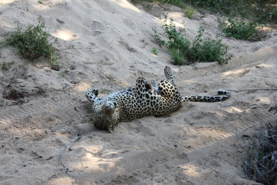 Ulusaba Safari Lodge: Leopard siting near the lodge