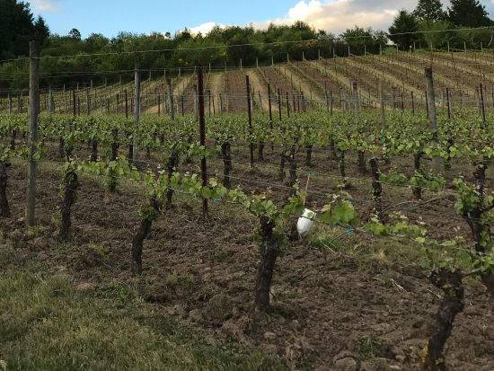 Newberg, OR: Estate vineyard at Patricia Green Cellars