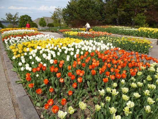 Chanhassen, MN: Some of the spectular tulips in bloom at the Arboretum