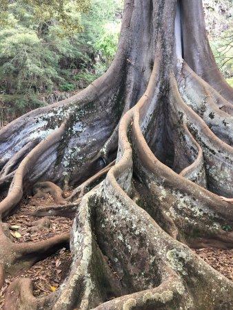 National Tropical Botanical Garden: Banyan tree (famous from Jurassic Park)