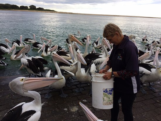 The Entrance Information Centre Staff feeding the Pelicans