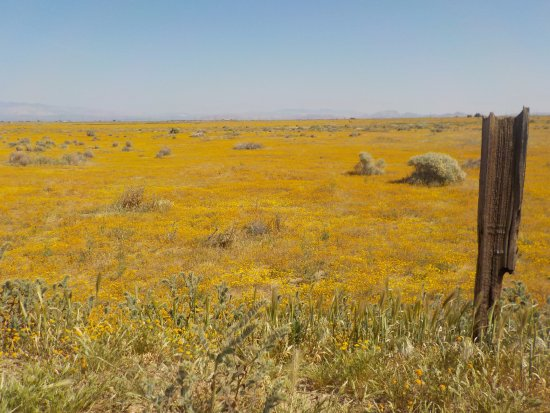 Lancaster, CA: The wonderful rains we had this winter made the poppies bloom immensely